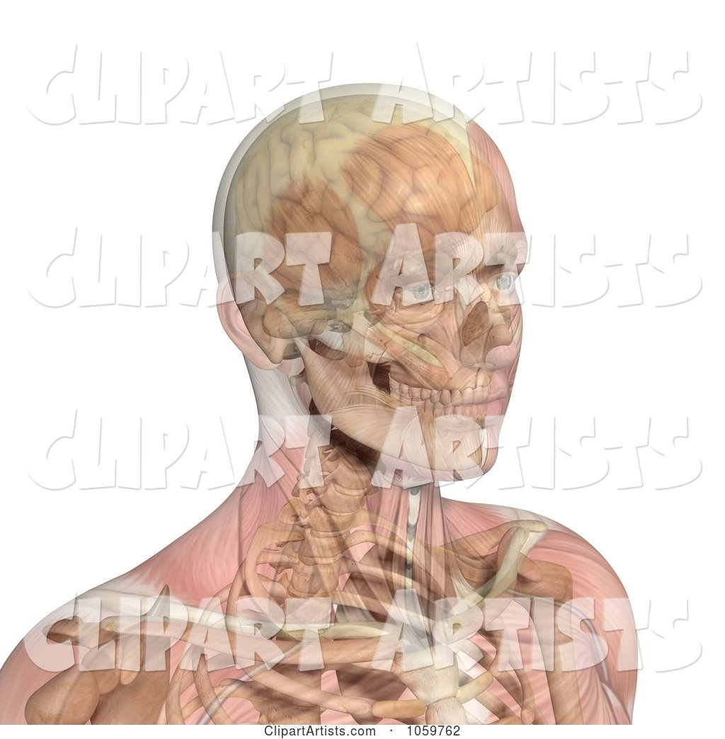 Male Head with Transparent Muscles Showing Bone and Brain