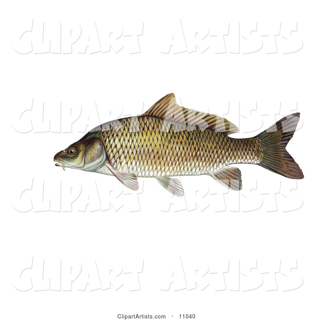 A Common Carp or European Carp Fish (Cyprinus Carpio)
