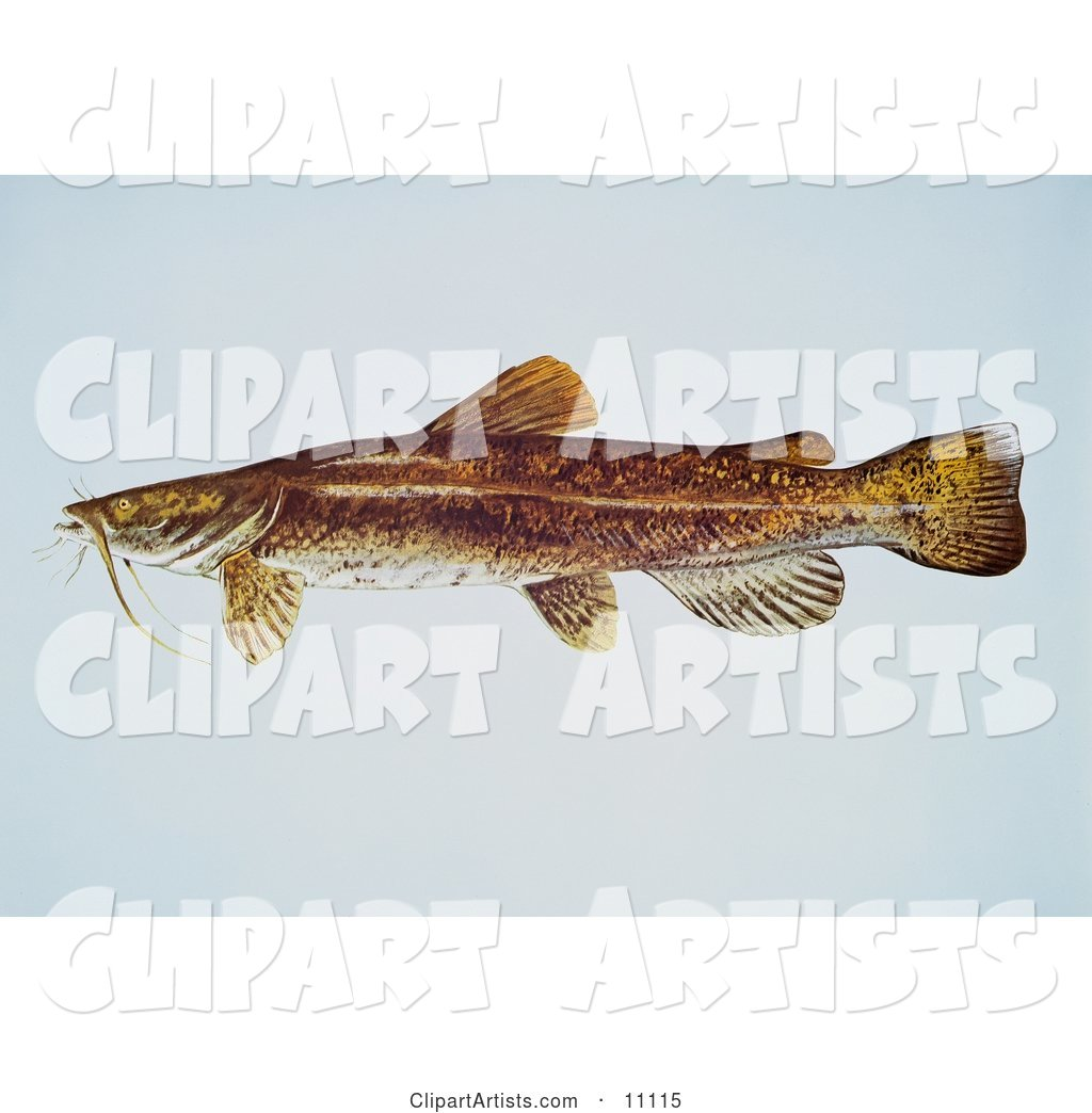 A Flathead Catfish (Pylodictis Olivaris)