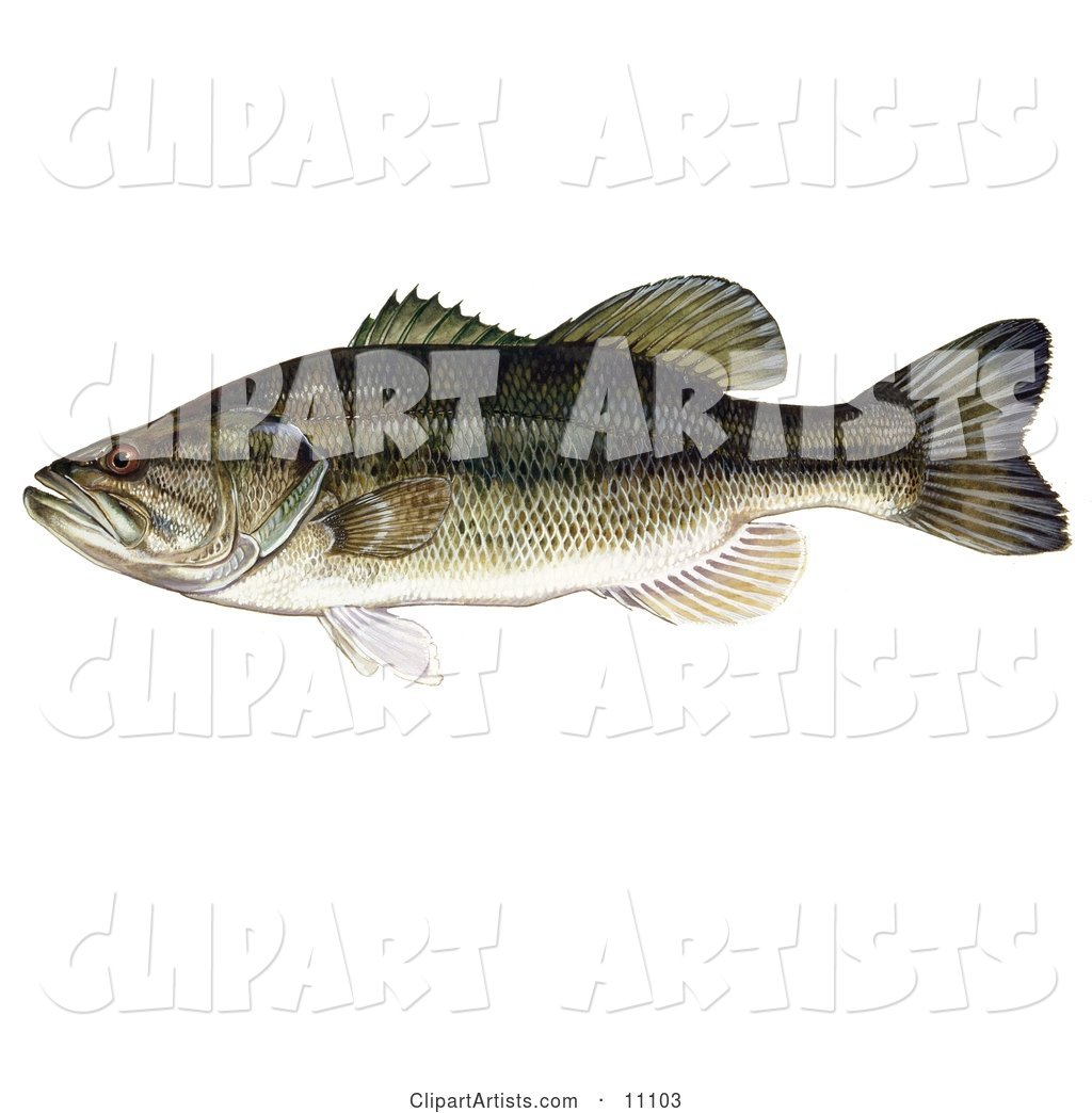 A Largemouth Bass Fish (Micropterus Salmoides)