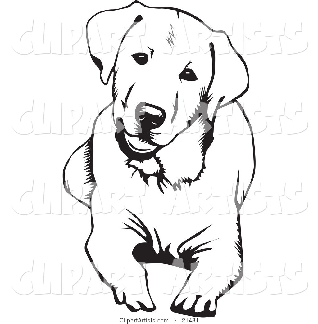 Cute and Curious Labrador Retriever Dog Lying down and Tilting His Head, on a White Background