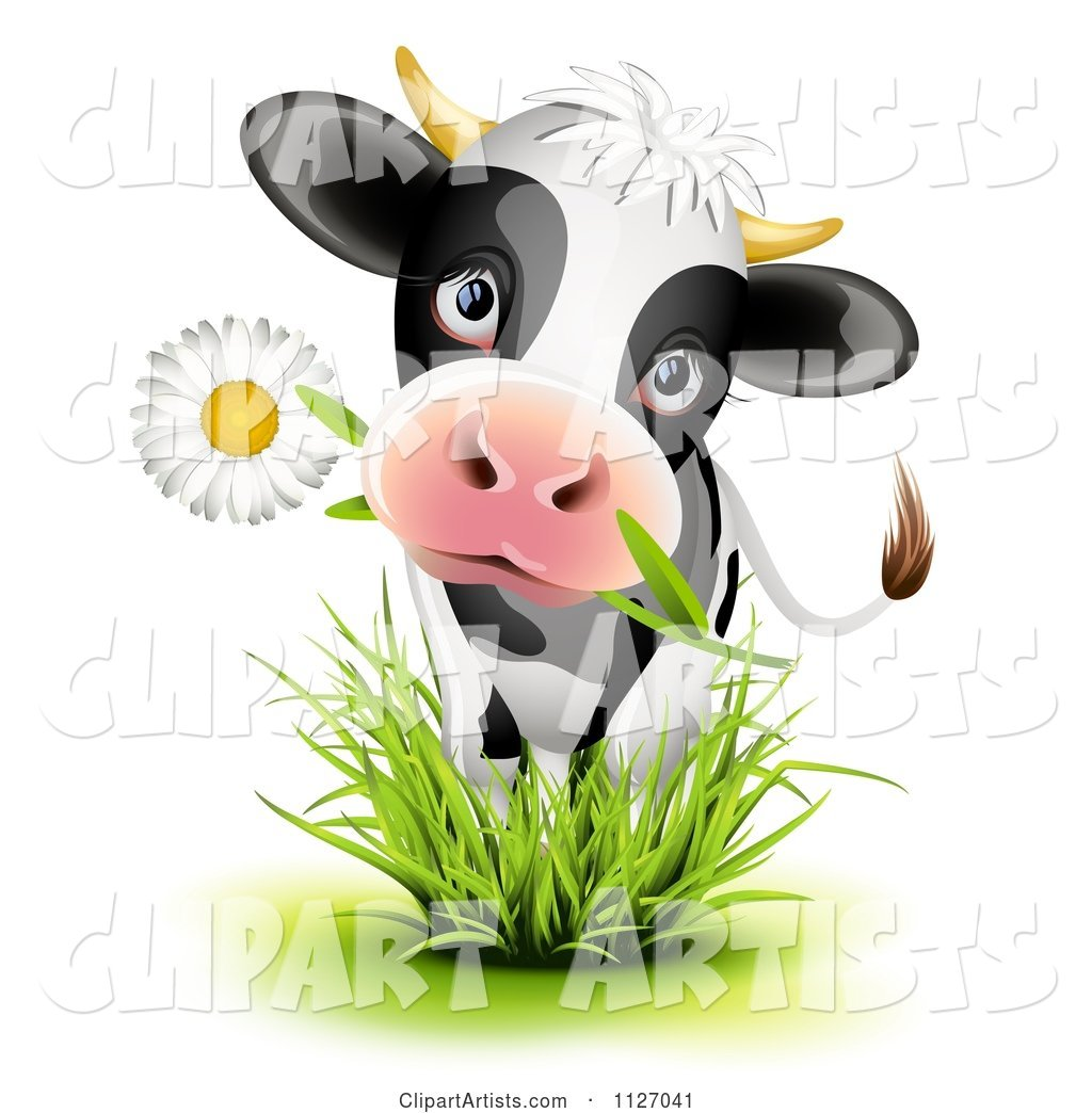 Cute Holstein Cow Eating a Daisy Flower and Standing in Grass