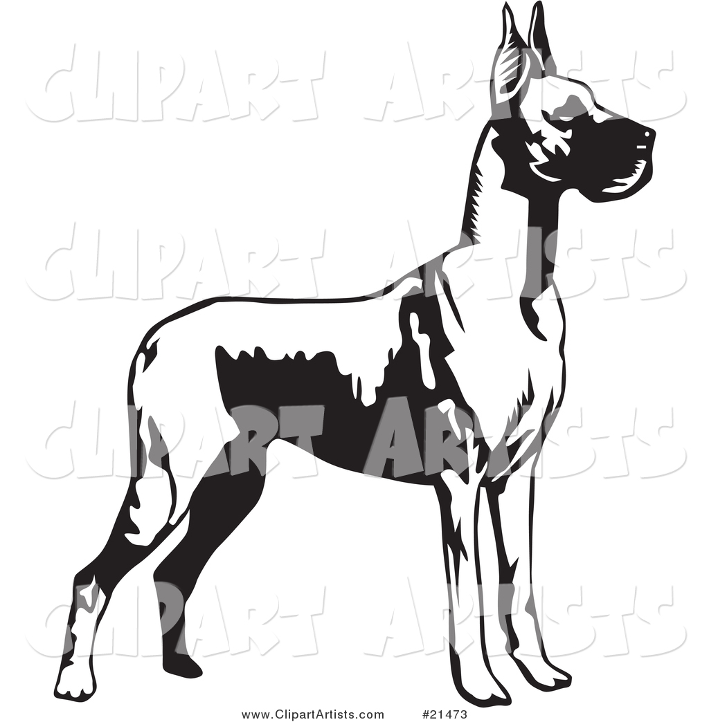 Great Dane Dog with Cropped Ears, Standing Alert and Facing Right, over a White Background