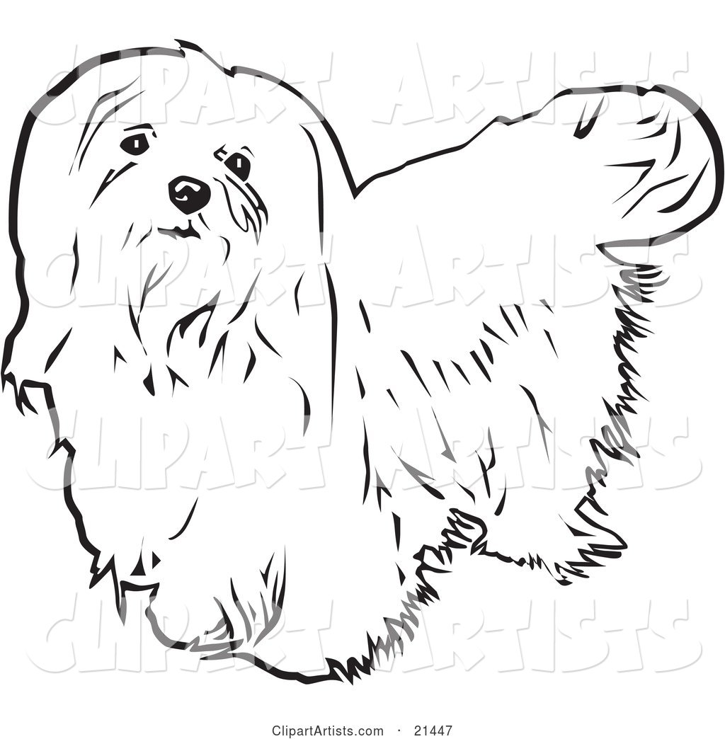 Long Haired Maltese Dog Looking Upwards, on a White Background