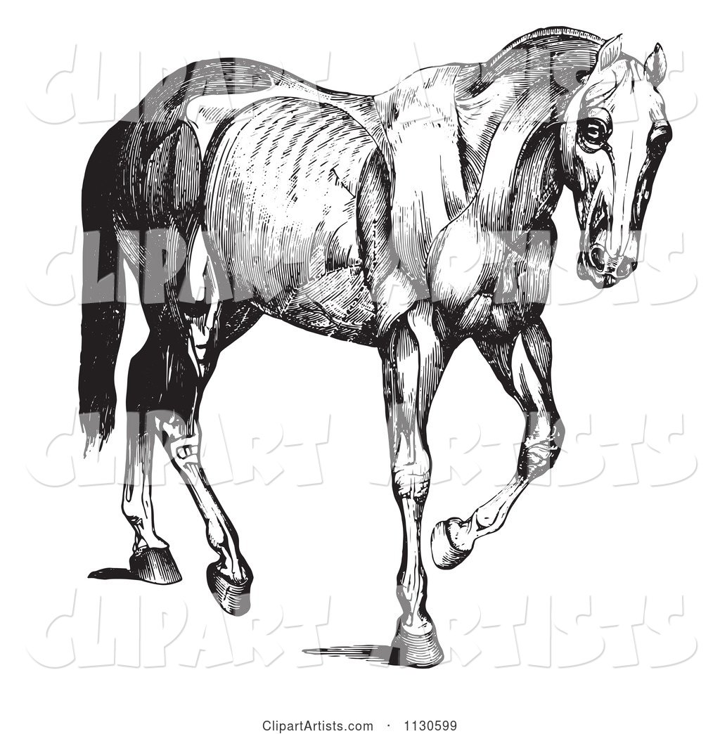 Retro Vintage Engraved Horse Anatomy of Muscular Covering in Black and White