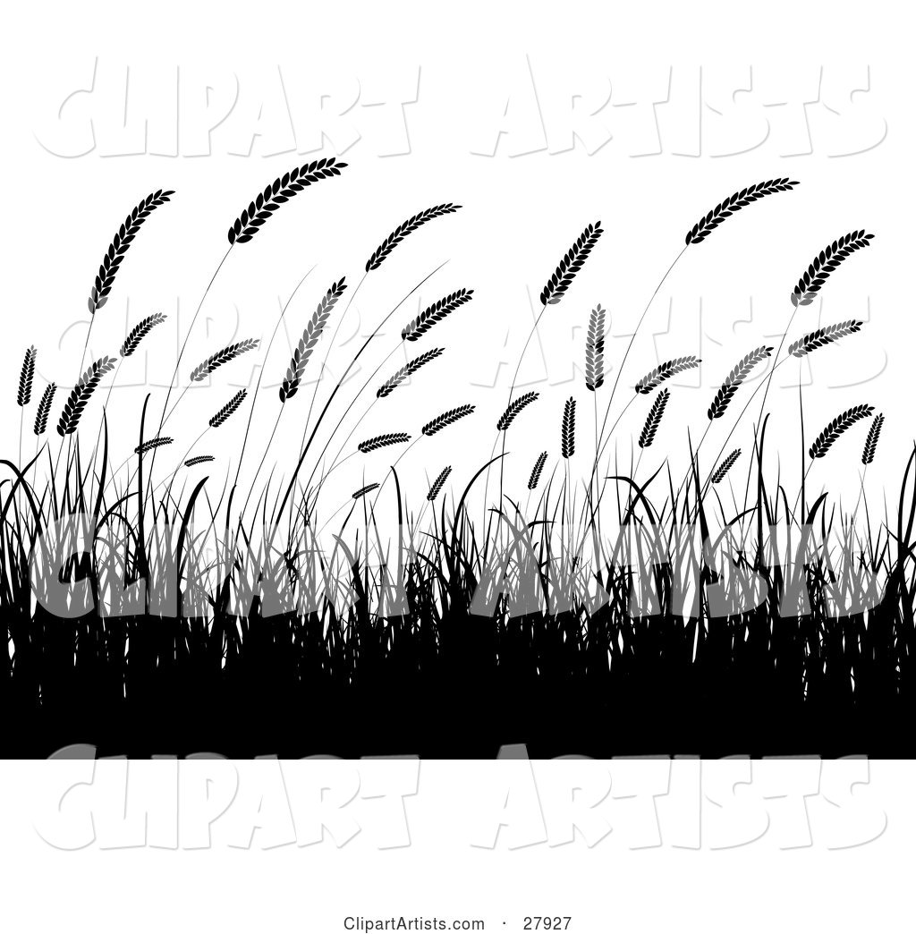 Silhouetted Wheat Grasses Waving in a Crop over a White Background