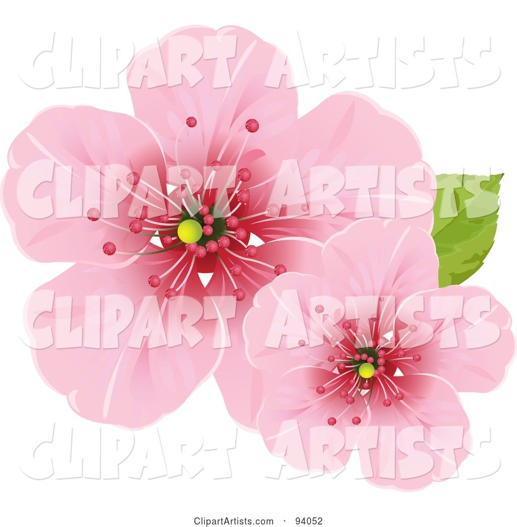 Two Pink Cherry Blossom Flowers with a Green Leaf