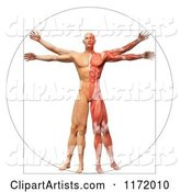 Vitruvian Man with Exposed Muscles on One Side and Skin on the Other