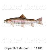 A Rainbow Trout Fish (Oncorhynchus Mykiss)