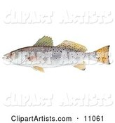 A Spotted Seatrout Fish (Cynoscion Nebulosus)