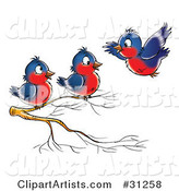 Blue and Red Robin Flying Towards Two Others Perched on a Branch