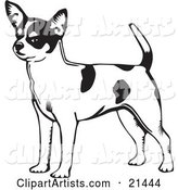 Alert Short Haired Chihuahua Dog with a Spotted Coat, Holding His Tail up and Facing Left, on a White Background