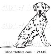 Alert Spotted Dalmation, or Dalmatian, Dog Seated with Its Body Facing Right, Looking at the Viewer