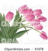 Bunch of Pink Tulip Flowers with Lush Green Stalks and Leaves, over White