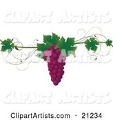 Bunch of Purple Concord Grapes with Green Leaves on a Grapevine, over a White Background