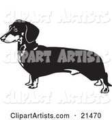 Long Dachshund, Doxie, Dackel, or Teckel Dog on a White Background