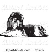 Long Haired Shih Tzu Dog Lying down and Looking at the Viewer, on a White Background