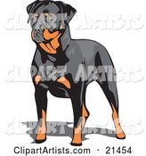 Muscular Brown and Black Rottweiler Dog Standing and Looking to the Left