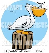 White Pelican Swallowing Fish and Resting on a Stump