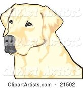 Yellow Labrador Retriever Dog with a Black Nose, Waiting Patiently and Looking off to the Left While Hunting